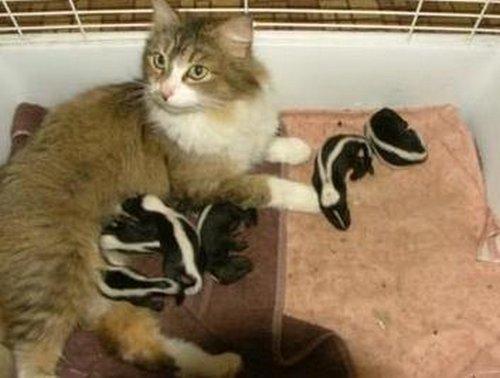 Недельные детеныши скунса, брошенные своей матерью, были случайно...