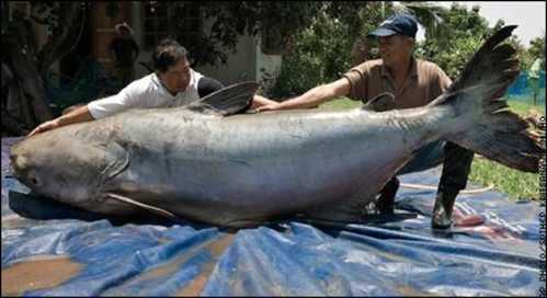 world biggest animal freshwater fish