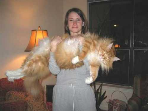 world biggest animal housecat