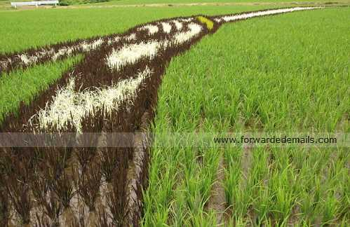 amazing japan rice harvesting 13