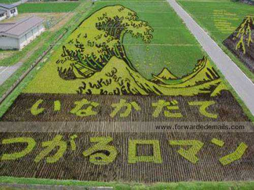 amazing japan rice harvesting 5