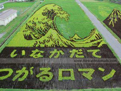 amazing japan rice harvesting 6