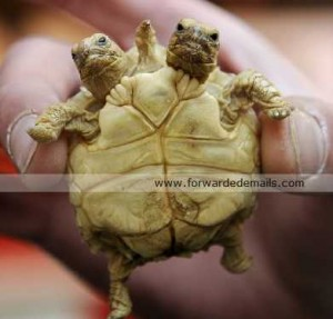 Incredible Two Headed Tortoise..[Fwd: Vishwa Bharathi]