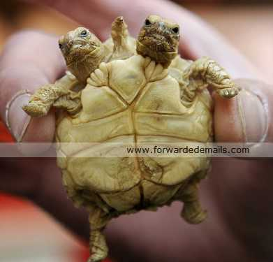 incredible two headed tortoise 1
