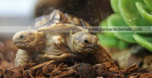 incredible two headed tortoise 2 Incredible Two Headed Tortoise image gallery