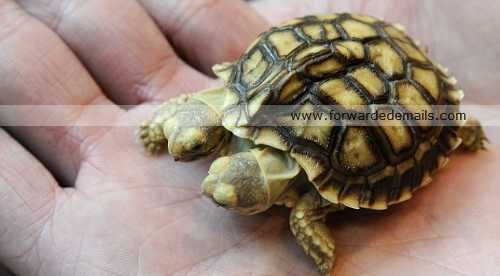 incredible two headed tortoise 3