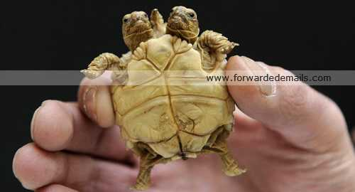 incredible two headed tortoise 4