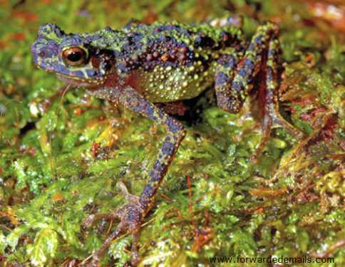 adult female Bornean Rainbow Toad