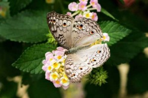 Spectacular and Beautiful Examples of Butterfly Photography Part II [Fwd: Chirath Candy]