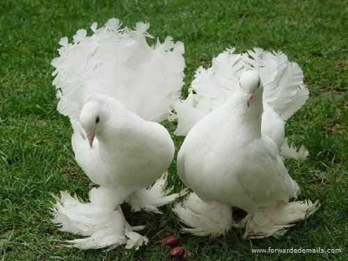 royal pigeons 1