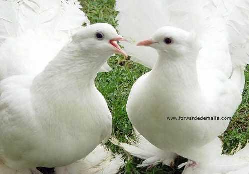 royal pigeons 10