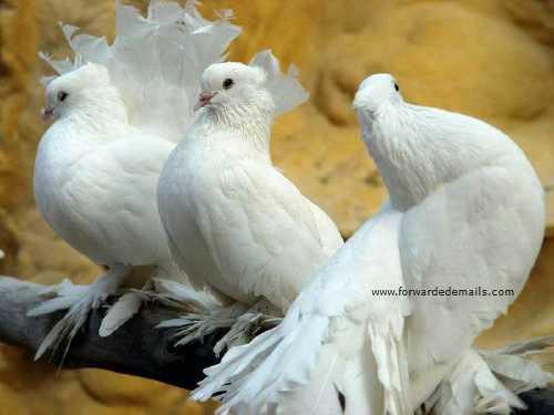 royal pigeons 11