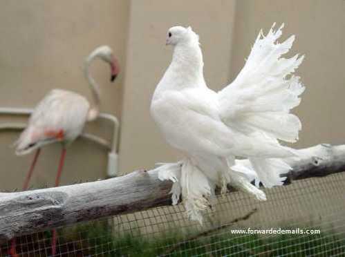 royal pigeons 12