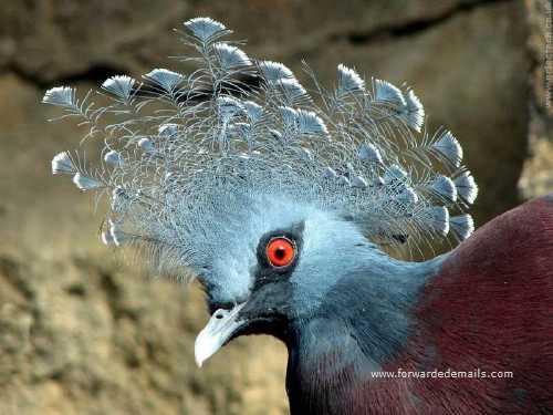royal pigeons 14