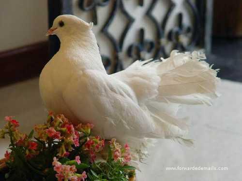 royal pigeons 3
