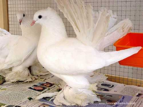 royal pigeons 4