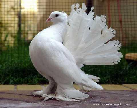royal pigeons 6