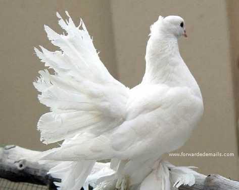 royal pigeons 7