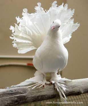 royal pigeons 8