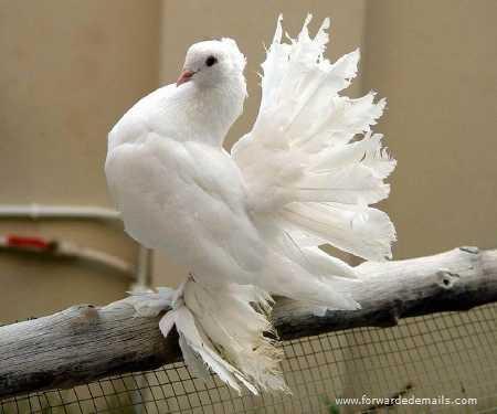 royal pigeons 9