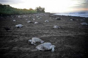 PICTURES WORTH 1 K WORDS :: SEA TURTLE EXTINCTION..[Fwd:Sharon Rajkumar]