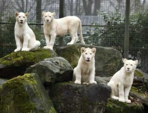 White Lions [Fwd: Sharon Rajkumar]