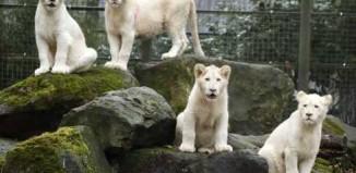 amazing_white_lion_1.jpg