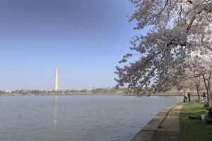 2012 Cherry Blossom in D.C [Fwd: Sharon Rajkumar]