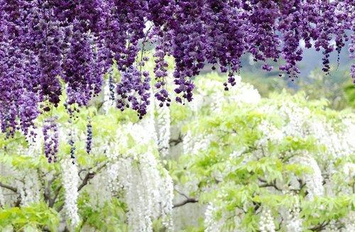 ashikaga-flower-park-15