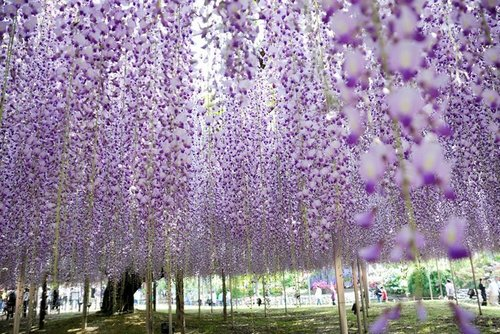 ashikaga-flower-park-2