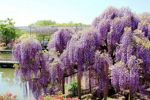 ashikaga-flower-park-3
