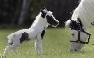 Smallest Horse [Fwd: Sharon Rajkumar]