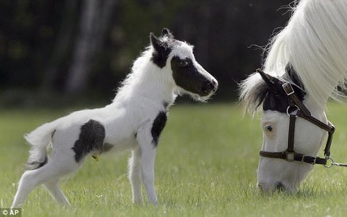 smallest horse 1