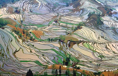 rice terraces in china 1