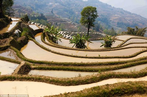 rice terraces in china 10