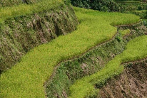 rice terraces in china 14