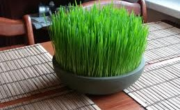 wheat_grass_1.jpg