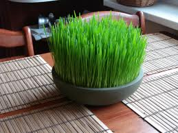 wheat grass 1